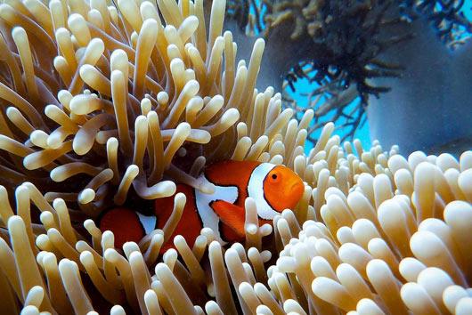 The Great Barrier Reef i Australien er et enormt populært sted at dykke og snorkle.